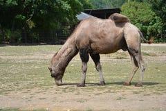 Chameau Bactrian (bactrianus de camelus) Photos stock