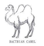 Chameau Bactrian, croquis d'illustration de bactrianus de Camelus, pour la coloration d'enfants Image stock