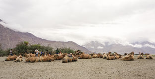 Chameau Bactrian en vallée de Nubra, Ladakh Photo libre de droits