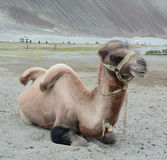 Chameau Bactrian en vallée de Nubra, Ladakh Photographie stock