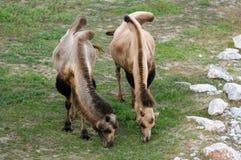 Chameau (Camelus) photo libre de droits
