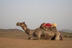 Chameau dans des sanddunes de Pushkar Images stock