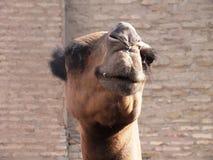 Chameau dans Khiva Photo libre de droits