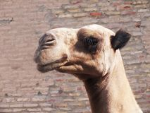 Chameau dans Khiva Photos stock