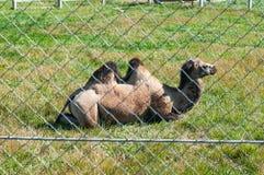 Chameau dans la cage dans le zoo image stock
