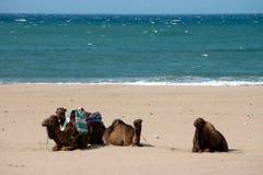 chameau dans la plage Image stock