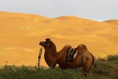 Chameau dans le désert Photographie stock