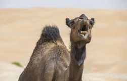 Chameau dans le désert de Liwa Images stock