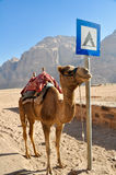 Chameau dans le désert de rhum de Wadi, Jordanie Image stock