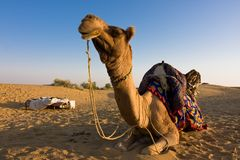 Chameau dans le désert de Thar Photos libres de droits