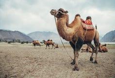 Chameau dans le désert de vallée de Nubra, Inde Image libre de droits