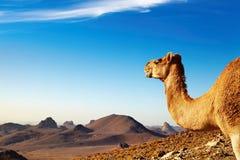 Chameau dans le désert de Sahara Photographie stock