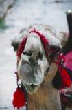 Chameau dans le Palmyra Image libre de droits
