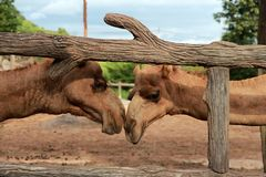 Chameau dans le zoo Image libre de droits