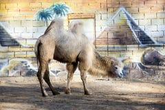 Chameau dans le zoo Photographie stock