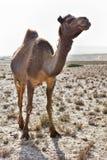 Chameau dans un désert Photos libres de droits