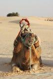 Chameau dans un désert Photographie stock libre de droits