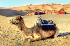 Chameau de dromadaire dans le désert Images stock