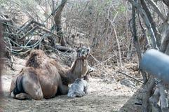 Chameau de mère et chameau de bébé Image libre de droits