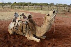 Chameau de repos dans l'Australie d'intérieur image stock