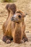 Chameau de repos en sable de désert Photos stock