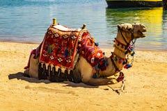 Chameau de repos sur la plage de sable Sharm-el-Sheikh, Egypte photographie stock