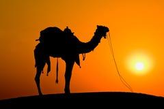 Chameau de silhouette au coucher du soleil, Inde Image libre de droits