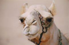 Chameau de sourire Images libres de droits