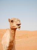 Chameau de sourire dans le désert de Wahiba, Oman Photographie stock libre de droits