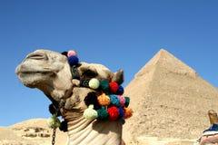 Chameau devant de grandes pyramides Photos stock