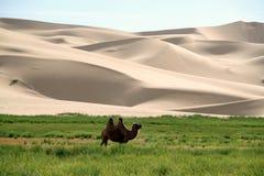 Chameau devant des dunes de sable Images stock