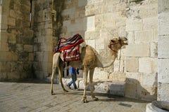 Chameau devant la porte de Jaffa, Jérusalem Image stock