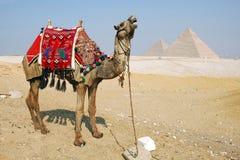 Chameau Egypte Images libres de droits