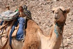 Chameau en Egypte Photographie stock libre de droits