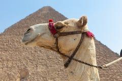 Chameau en pyramides de Gizeh, Egypte Images stock