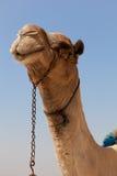 Chameau en pyramides de Gizeh, Egypte Photos stock