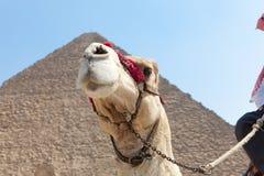Chameau en pyramides de Gizeh, Egypte Image libre de droits