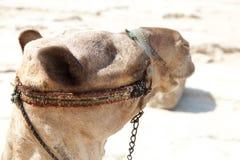 Chameau en pyramides de Gizeh, Egypte Photographie stock