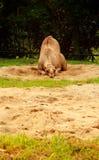 Chameau ennuyeux se trouvant sur le sable Images stock