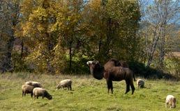 Chameau et moutons Photos libres de droits