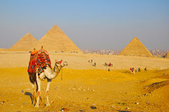 Chameau et pyramide grande de Giza Photo stock