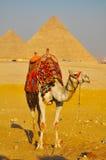 Chameau et pyramide grande de Giza Photos stock