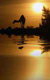 Chameau et réflexion Image stock