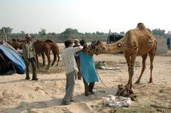 chameau examinant des dents de s Image libre de droits