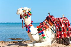 Chameau fier blanc se reposant sur la plage égyptienne Dromeda de Camelus image libre de droits