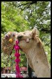 Chameau indien Image libre de droits