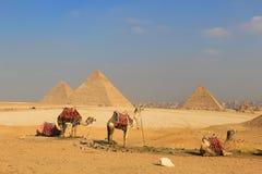 Chameau les pyramides de l'Egypte à Gizeh photographie stock libre de droits