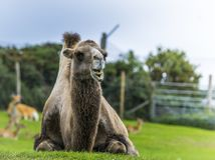 Chameau posant pour la photo au zoo de parc de safari des West Midlands Photo stock