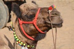 Chameau, Pushkar, Inde Images libres de droits