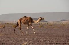 Chameau sauvage dans les déserts de l'Arabie Saoudite image stock